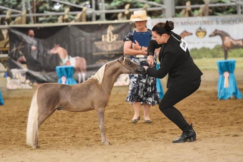 EBF Mi Armani, American Miniature Horse AMHA/AMHR